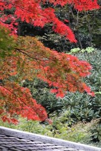 茶室付近の紅葉(オオサカズキ)