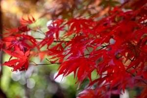 色付いた紅葉(オオサカズキ)