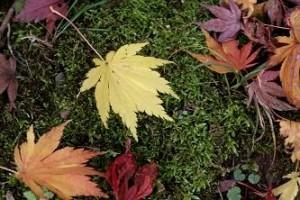苔とカエデの葉のハーモニー