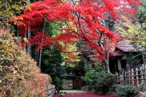 上は枝の紅、下は落ち葉の紅がダブルで楽しめますよ