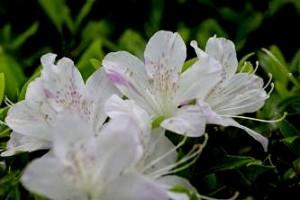 ツツジ  赤・ピンク・白と様々な色の花たちがお客様をお迎えします。