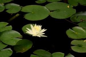 心地池のスイレン